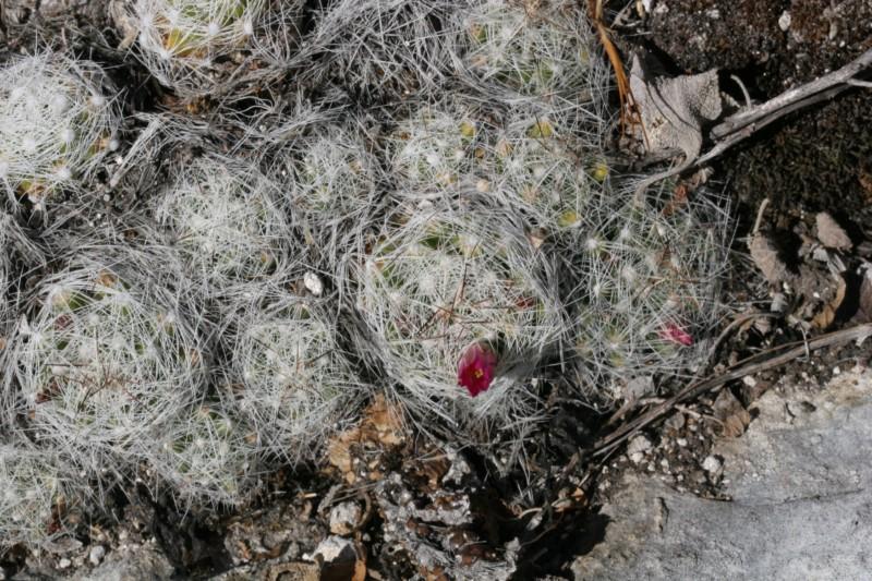 Mammillaria kraehenbuehlii Img_8417