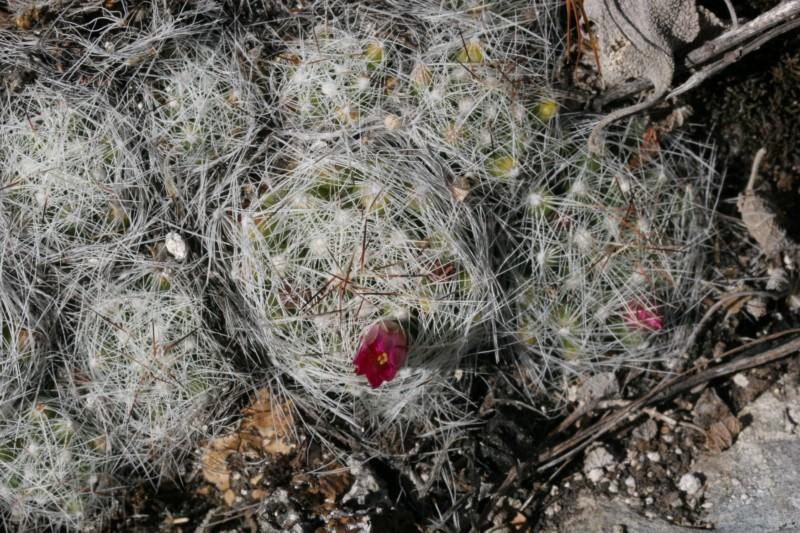 Mammillaria kraehenbuehlii Img_8418