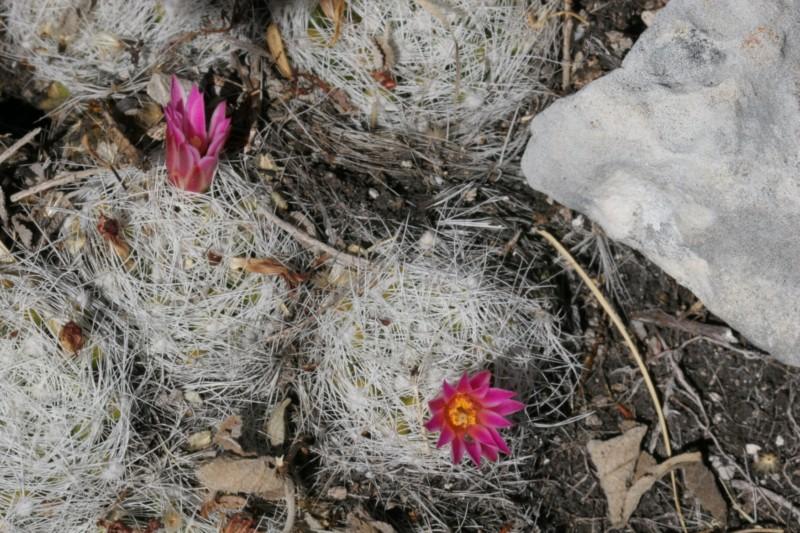 Mammillaria kraehenbuehlii Img_8419