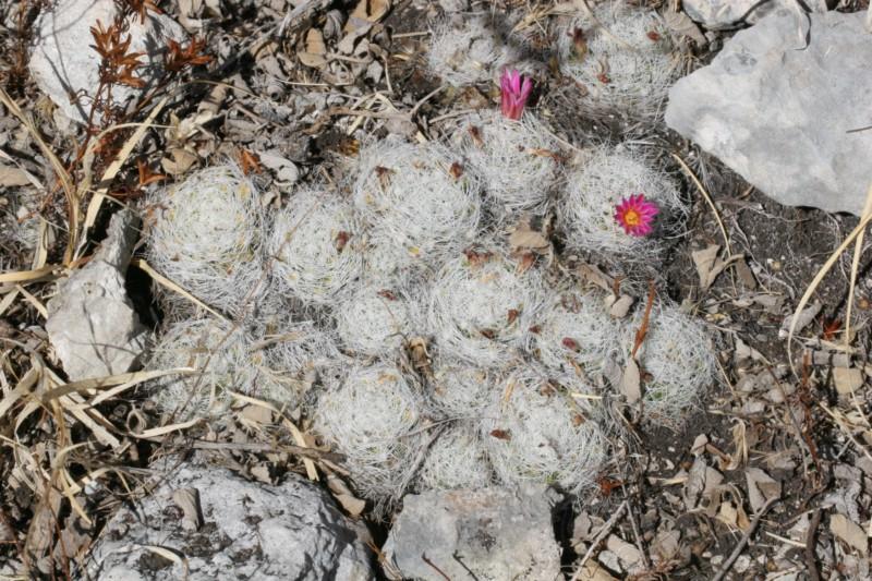 Mammillaria kraehenbuehlii Img_8420