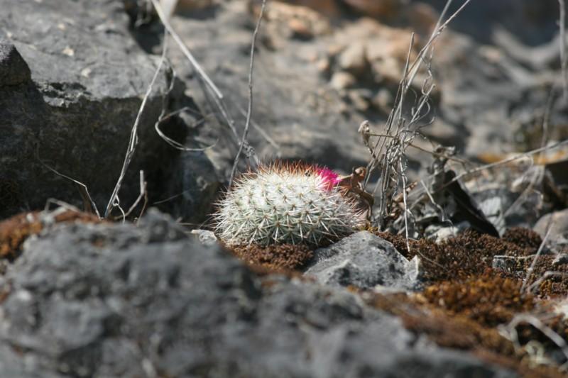 Mammillaria lanigera Img_8427