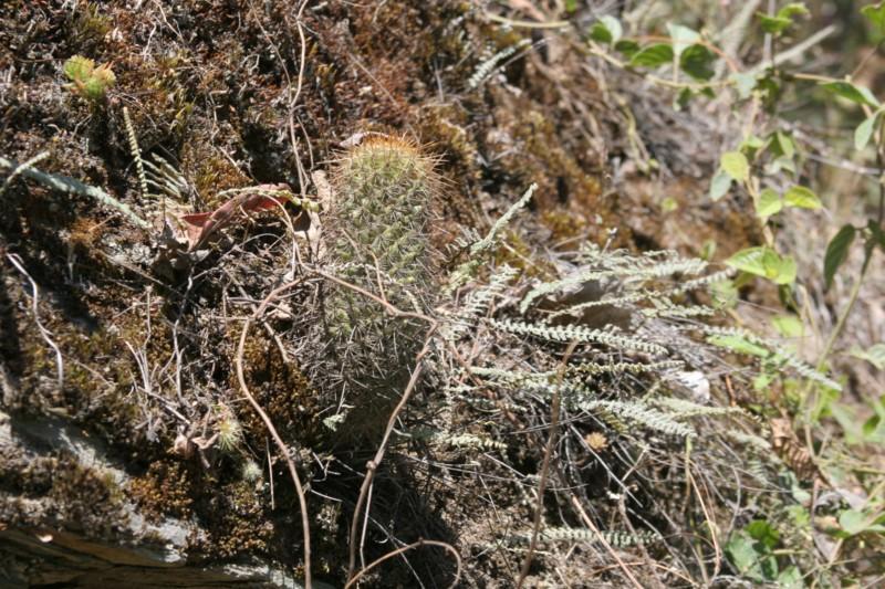 Mammillaria rekoi Img_8429