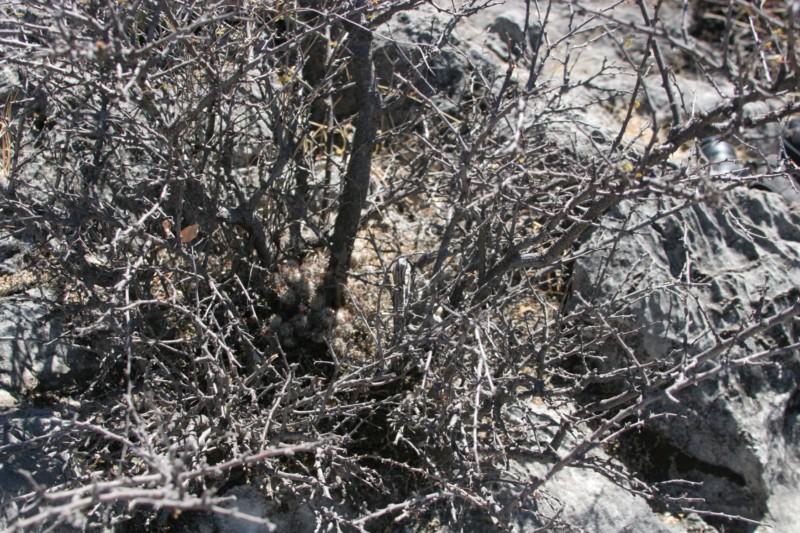 Mammillaria tonalensis Img_8435