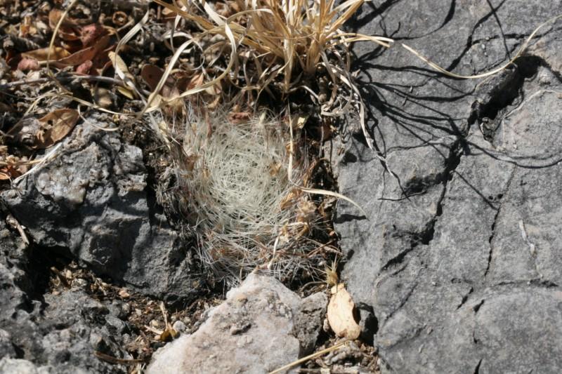 Mammillaria heidiae Img_8437