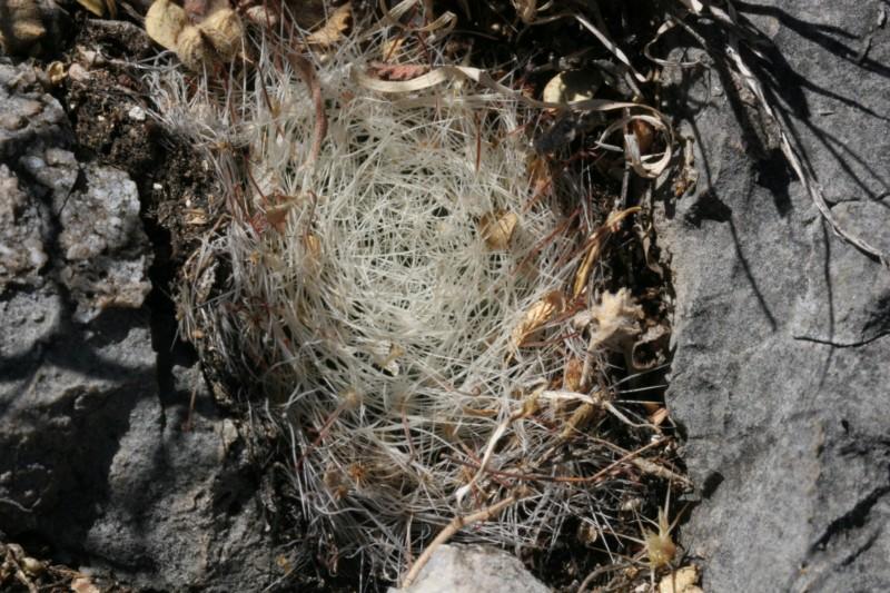 Mammillaria heidiae Img_8439