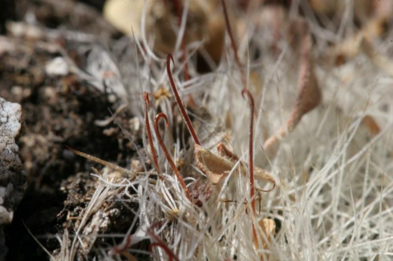 Mammillaria heidiae Img_8440