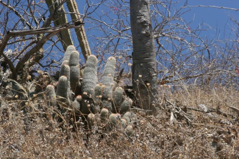 Mammillaria guerreronis Img_8443