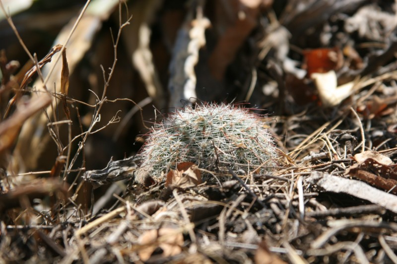 Mammillaria beneckei Img_8519