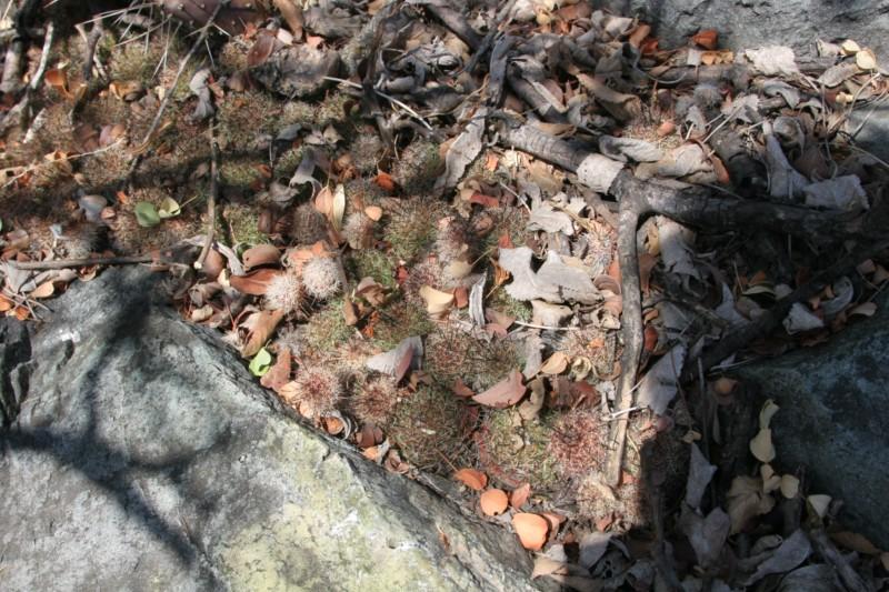 Mammillaria beneckei Img_8521