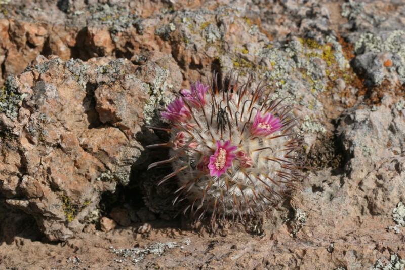 Mammillaria perezdelarosae Img_8610