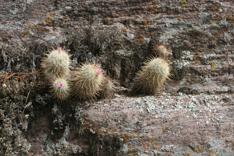 Mammillaria bombycina Img_8623