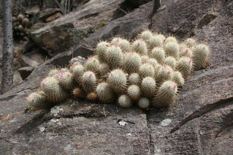 Mammillaria bombycina Img_8624