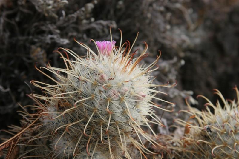 Mammillaria bombycina Img_8626