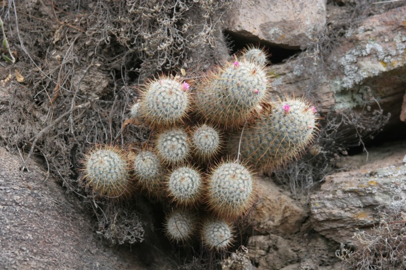 Mammillaria bombycina Img_8627