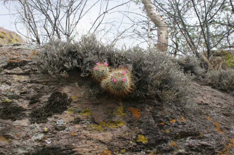 Mammillaria bombycina Img_8637
