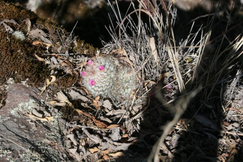 Mammillaria bombycina Img_8639