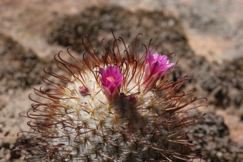 Mammillaria bombycina Img_8646