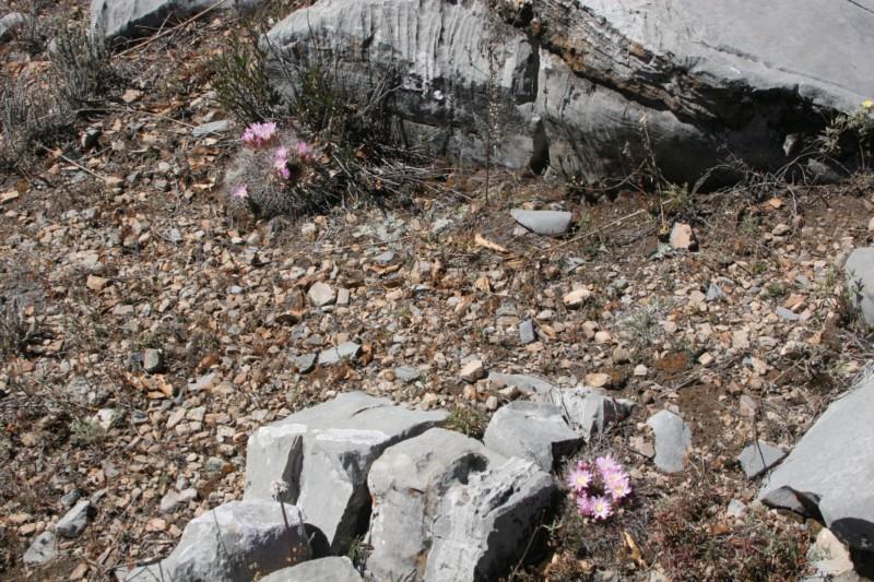 Mammillaria melanocentra Img_8749