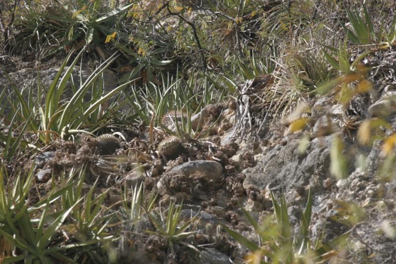 Mammillaria winterae  Img_8810