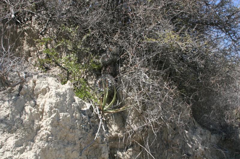 Mammillaria winterae  Img_8811