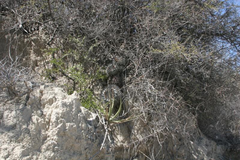 Mammillaria winterae  Img_8816