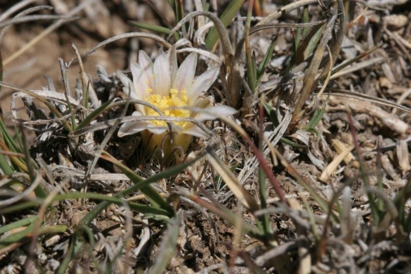 Mammillaria weingartiana Img_8820