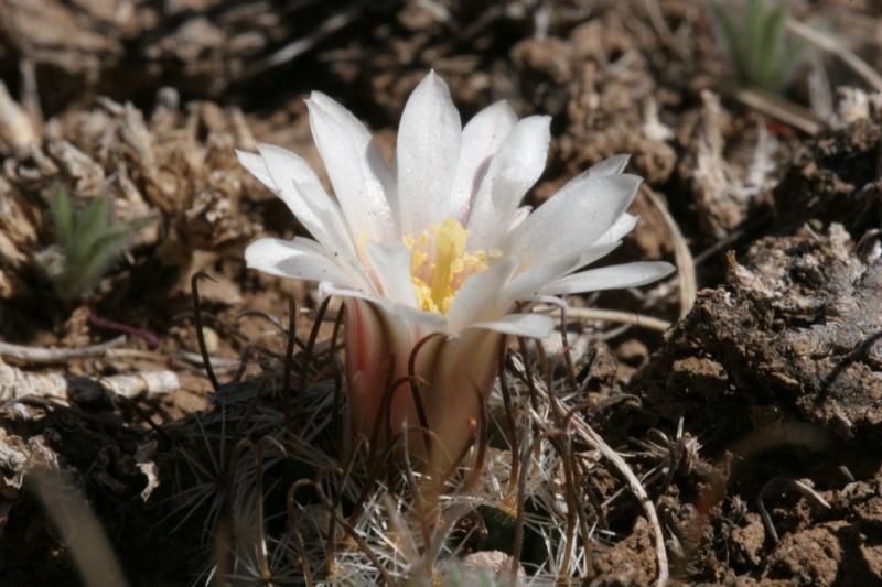 Mammillaria weingartiana Img_8824