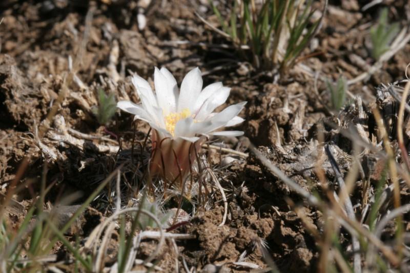 Mammillaria weingartiana Img_8825