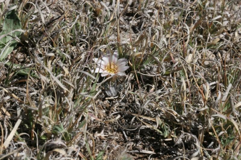 Mammillaria weingartiana Img_8826