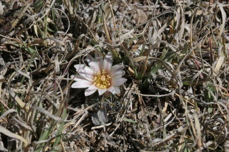 Mammillaria weingartiana Img_8827