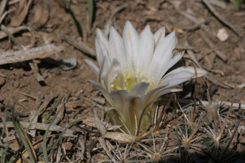Mammillaria weingartiana Img_8828