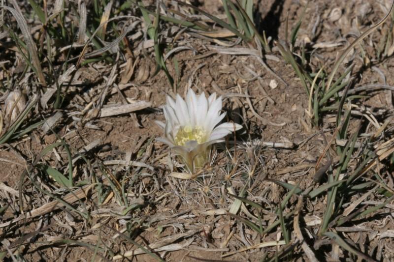 Mammillaria weingartiana Img_8829