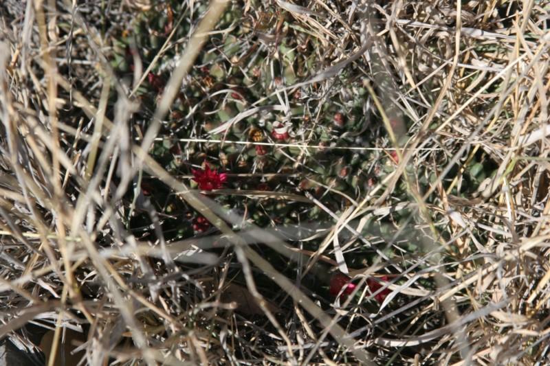 Mammillaria magnimamma Img_8926