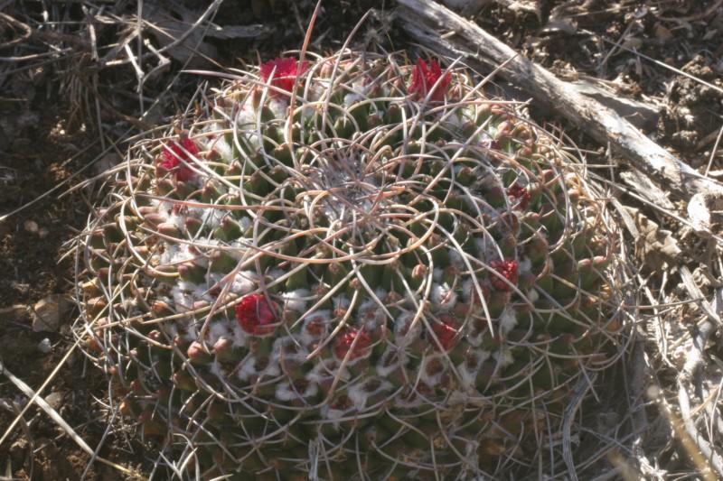 Mammillaria magnimamma Img_8930