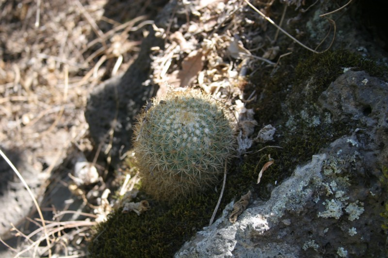 Mammillaria rhodantha Img_9119