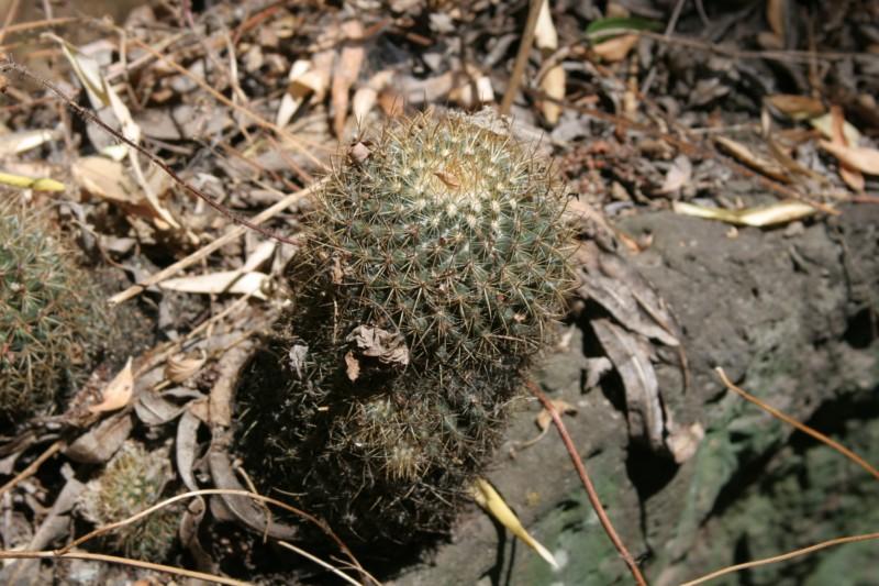 Mammillaria rhodantha Img_9120