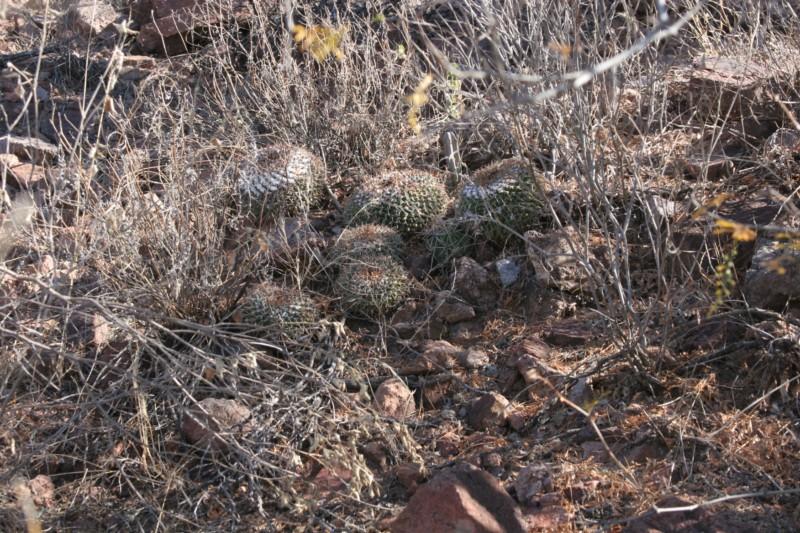 Mammillaria saint-pieana Img_9522
