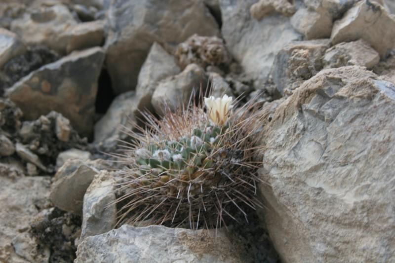 Mammillaria winterae  Img_9810