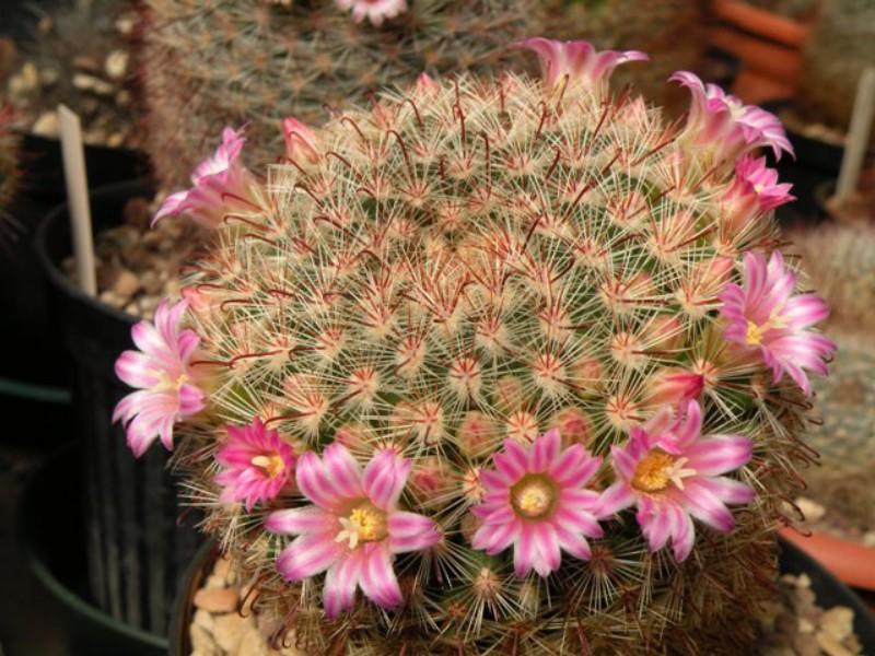 Mammillaria kleiniorum Klei1010
