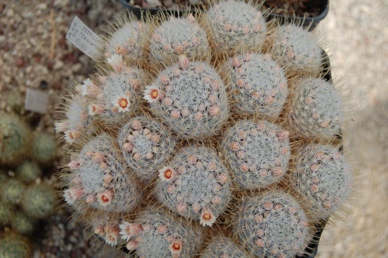 Mammillaria pennispinosa Pennis11