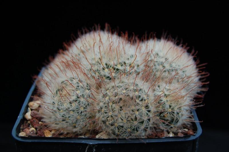 Mammillaria pennispinosa Pennis15