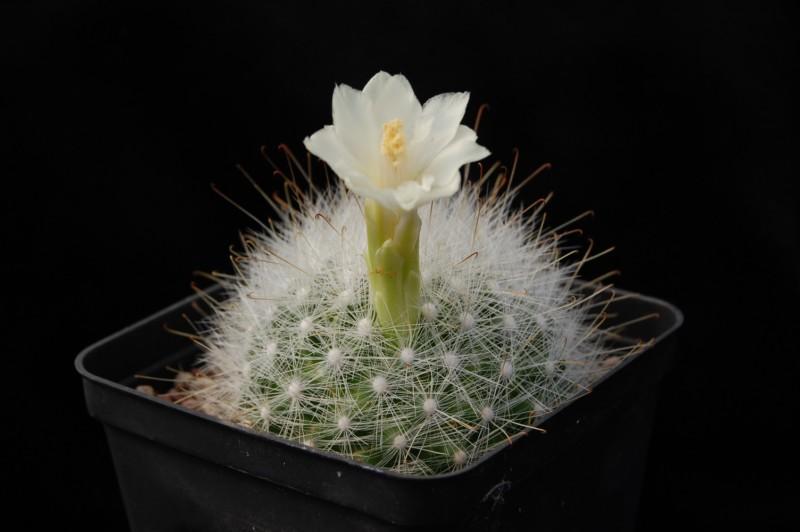 Mammillaria senilis Senili17