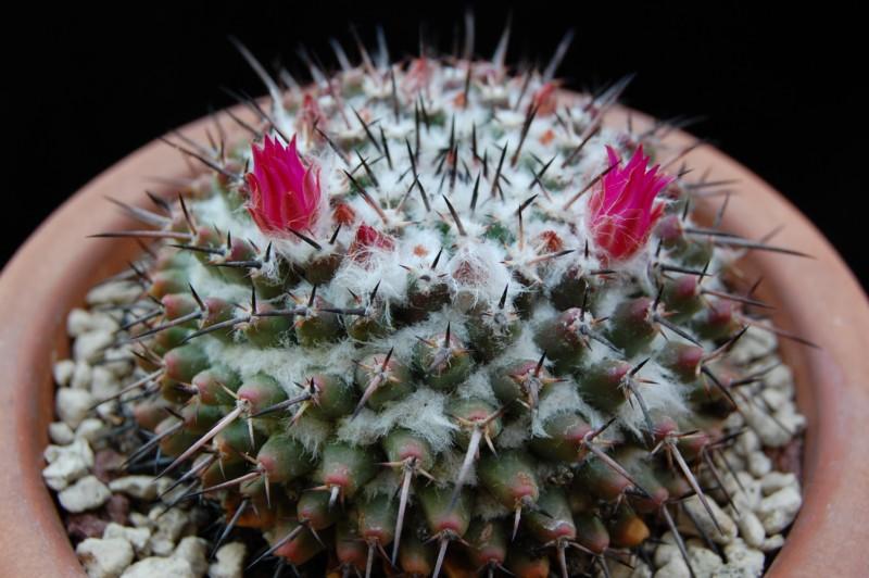 Mammillaria priessnitzii Z100_510