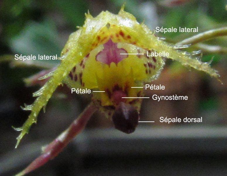 Résupination chez les orchidées, pourquoi ? comment. Img_3711