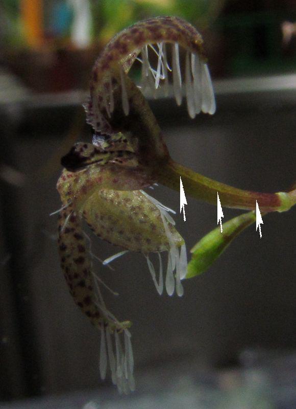 Résupination chez les orchidées, pourquoi ? comment. Img_3713