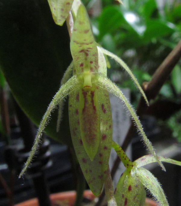 Pleurothallis loranthophylla Img_3811