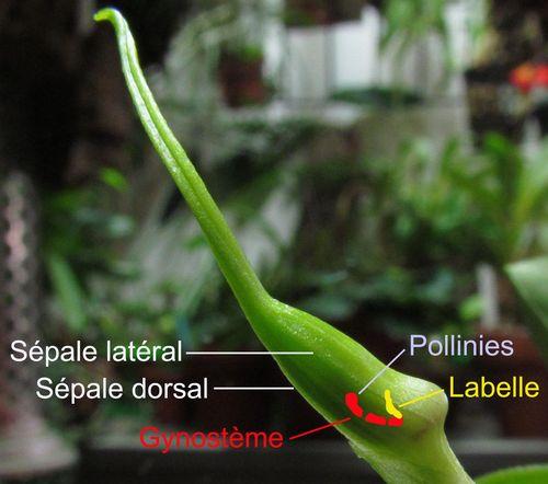 Résupination chez les orchidées, pourquoi ? comment. Img_3814