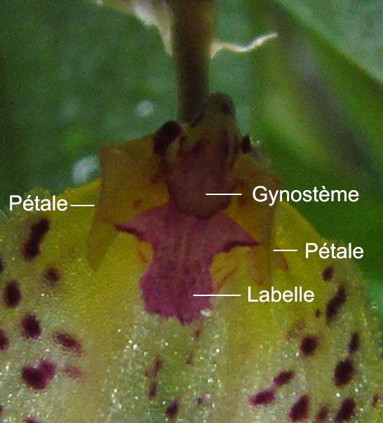 Résupination chez les orchidées, pourquoi ? comment. Img_3815