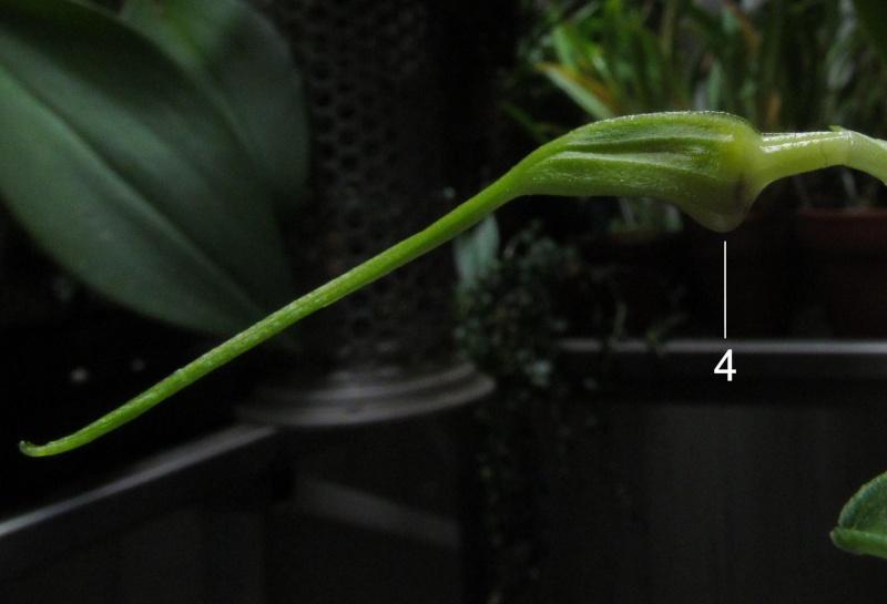 Résupination chez les orchidées, pourquoi ? comment. Img_3819