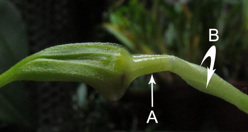 Résupination chez les orchidées, pourquoi ? comment. Img_3820
